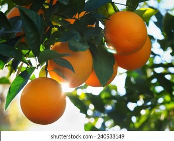 Valencia Orange Morning Sunshine