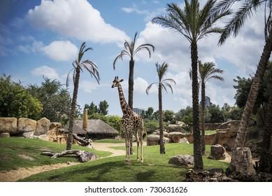 Valencia, Spain - August 19, 2017. A Giraffe inside the Valencia Bioparc Zoo.