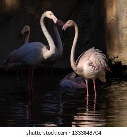 VALENCIA, SPAIN - FEBRUARY 26 : Flamingos at the Bioparc in Valencia Spain on February 26, 2019