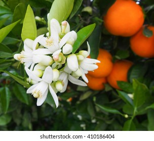 Valencian orange and orange blossoms