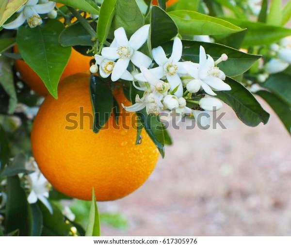 Les fleurs d'oranger et d'oranger valenciennes se succèdent avec des gouttes d'eau. Espagne.Printemps