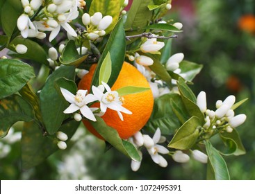 Valencian orange and orange blossoms. Spain. Spring harvest