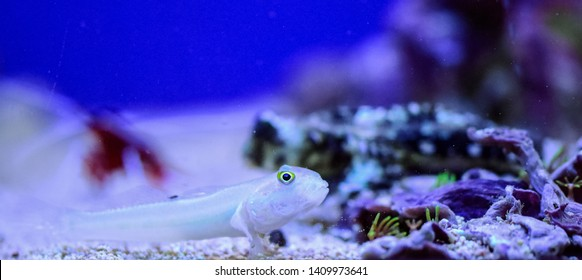 Valenciennea puellaris, theOrange-spotted sleeper-goby,Orange-dashed goby, orMaiden goby,Diamond Watchman goby