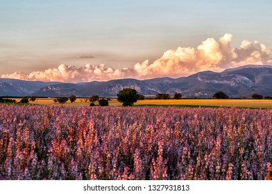 Valensole Plateau. Alpes-de-Haute-Provence, France. Summer flower of beautiful blooming vivid purple woodland sage flower on the Alps background. Summer sunrise nature landscape. Travel concept.