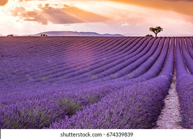Valensole Plateau, lavender fields in a summer day, Provence, France
