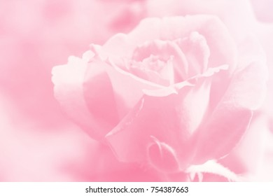 Valentine concept, Blurred beautiful rose flower soft color for background