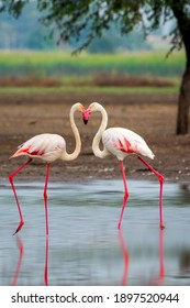 The Valentine Kiss - Flamingo couple indulging in a kissing act