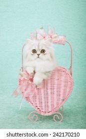 Valentine silver Chinchilla kitten sitting inside pink heart shape basket on mint green background