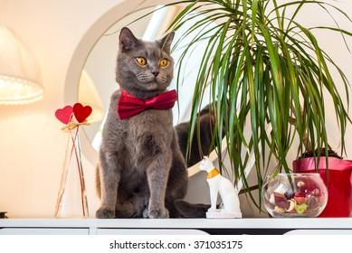 Valentine's Day British cat in a burgundy bow tie sitting at the mirror