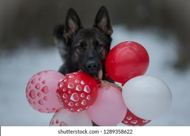Valentines day dog comes with balloons