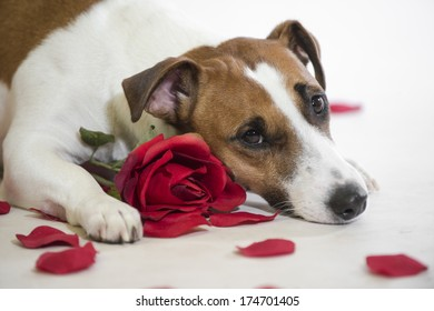 Valentine's Day dog lies with his face down, sad valentine, with a rose and rose petals