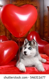 Valentine's day husky puppy on a texture background.
