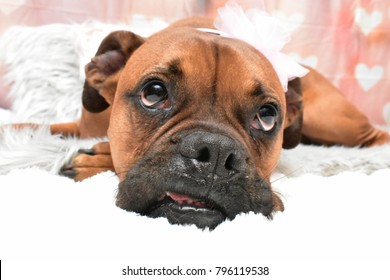 Valentine's day portrait of a boxer breed dog