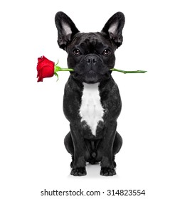 valentines   dog holding a rose with mouth , isolated on white background