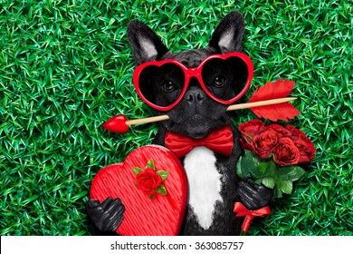 valentines french bulldog  dog    with love arrow in mouth on grass at the park with a gift or present and roses