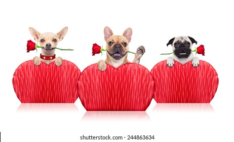 valentines  group of dogs holding a  red rose with mouth ,isolated on white background