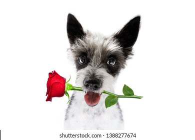valentines poodle  dog holding a rose with mouth as a gift , isolated on white background