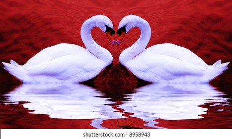 Valentine's swans come together to form a heart-shape on a beautiful still pond...