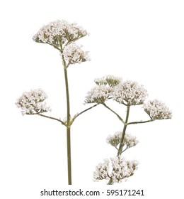 Valerian flower isolated on white background