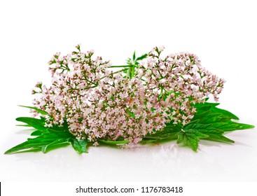 Valerian herb flower sprigs isolated on white background