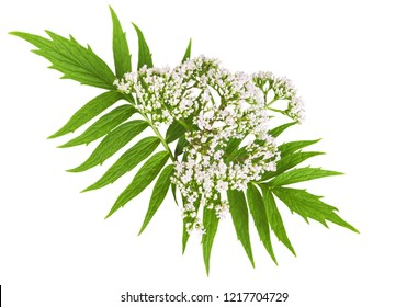 Valerian herb flower sprigs isolated on white background. Save work path.