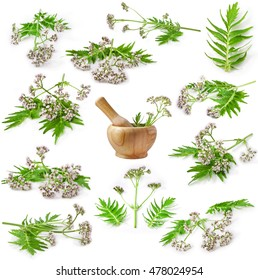 Valerian herb flower sprigs isolated on white background