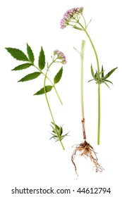 Valerian herb leaf, flower and root, isolated over white background. Modern day alternative equivalent is valium.