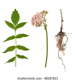 Valerian herb leaf, flower and root, over white background. Modern day alternative equivalent to valium acting as a tranquiliser.