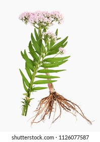Valerian with root