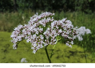 Valerian (Valeriana officinalis), flowering umbel