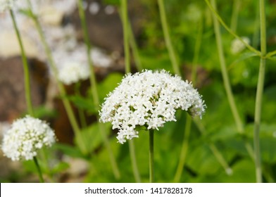 valeriana officinalis garden heliotrope  blossoming herb