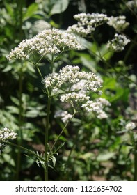 Valeriana officinalis herb blossoming