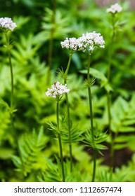 Valeriana Officinalis or Valerian plant is a genus of flowering plants in the family Caprifoliaceae. Medicinal plants in the garden.