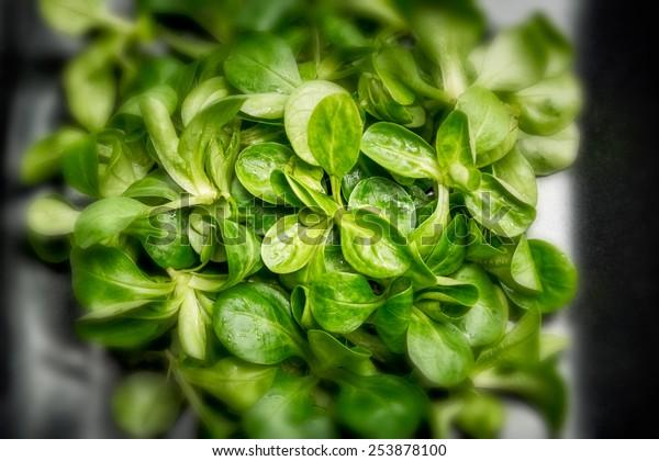 Valerianella locusta, corn salad, lamb's lettuce