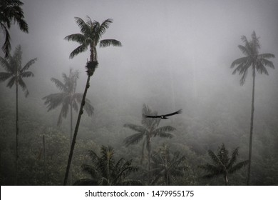 Valle de Cocora, Colombia - March, 2019: Amazing scenery of condors flying on a foggy day in Cocora Valley.