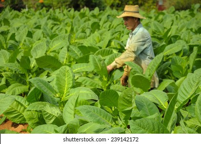 Valle de Vinales, CUBA - JANUARY 19, 2013: Man working  on Cuba tobacco plantation in Vinales Valley ,CUBA.Traditional techniques are still in use for agricultural production, particularly of tobacco.