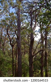 In the Valley of the Giants treetop walk Denmark Western Australia
