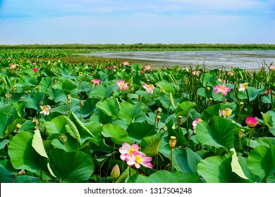 The valley of lotuses in the lower reaches of the Volga. This is one of the areas where the lotus occupies large spaces, forming fields of flowers and leaves on the water