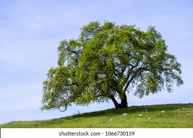 Valley oak (Quercus lobata) on a hill with new green leaves growing in springtime, Santa Clara county, south San Francisco bay area, California