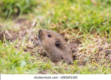 Valley Pocket Gopher (Thomomys bottae) emerging from the burrow. San Francisco, California, USA.