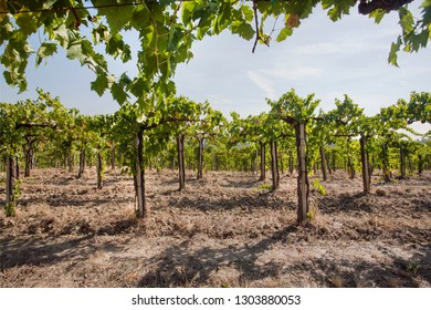Valley with young green vine of wineyards. Colorful landscape, soil and vineyard rows under sun.