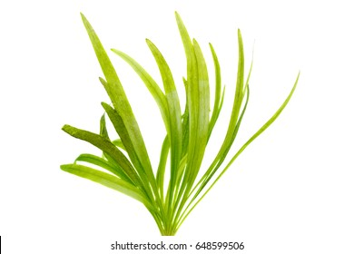 Vallisneria water plant isolated on white background