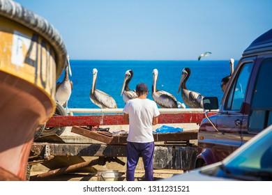 VALPARAISO, CHILE - February 2019: Fish Market in Valparaiso. Man on the fish market cutting fish, pelicans waiting for food on the market in Valparaiso, Chile