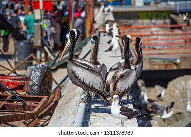 VALPARAISO, CHILE - February 2019: Pelicans on the fish market waiting for food in Valparaiso, Chile, South America