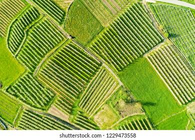 Valtellina (IT) - Apple orchards in the Chiuro area - Ponte in Valtellina - aerial view