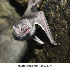 A vampire bat baring its fangs for the camera
