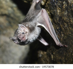 A vampire bat hanging from a wall of its cave