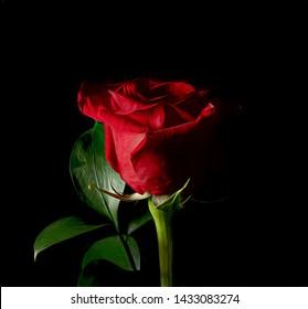 Van Gogh Style Rose Black Ground