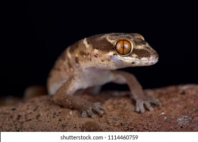 Van Son's thick-toed gecko (Pachydactylus vansoni) is a terrestrial and nocturnal species found in Southern Africa.
