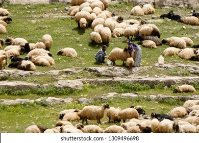 VAN, TURKEY — MAY 5, 2011. Semi-nomadic shepherds milk sheep amid a flock of grazing sheep and goats on a rocky, grass-covered hillside in Eastern Anatolia.